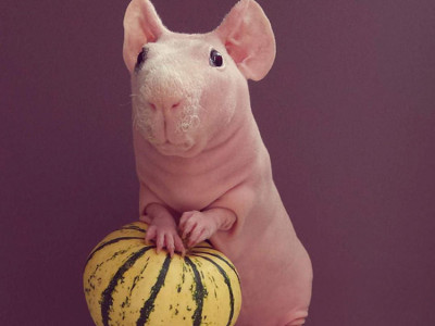Ludwik the naked guinea pig enjoying pumpkin - see him on instagram