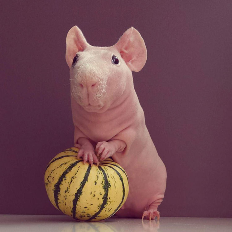Ludwik the naked guinea pig enjoying pumpkin - see him on instagram