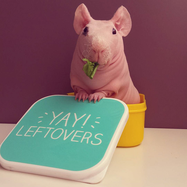 Extremely cute guinea pig Ludwik nibbles on leftovers
