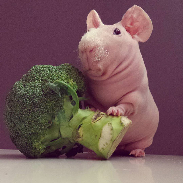 Naked guinea pig Ludwik eating broccoli - find him on instagram