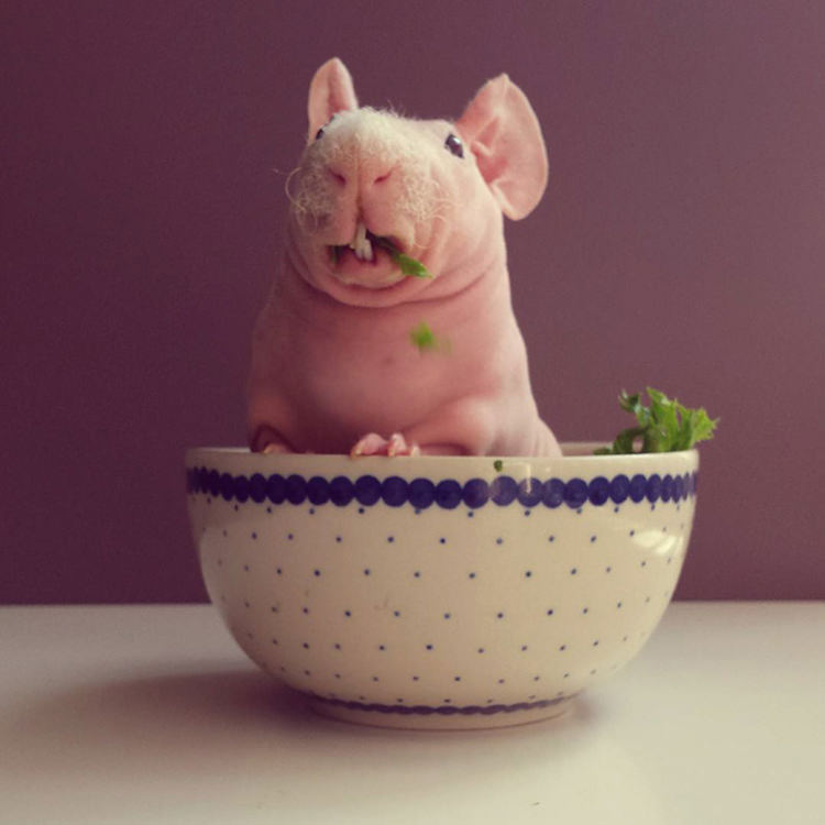 Ludwik the naked guinea pig - find him on instagram